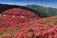奈良県 ツツジ咲く葛城山より金剛山