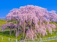 福島県 三春町 三春の滝ザクラ