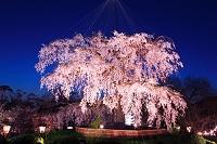 京都府 円山公園