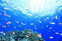 海中 サンゴ礁 キンギョハナダイ