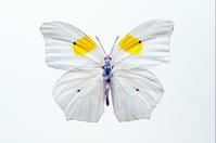 蝶 標本 マエモンオオヤマキチョウ ペルー