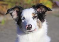 オーストラリアン・シェパード 犬