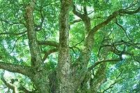 愛媛県 長浜の巨樹