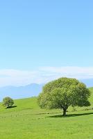 山梨県 八ヶ岳牧場 新緑のヤマナシの木と青空