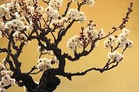白梅の盆栽と金屏風