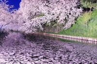 青森県 桜のライトアップの弘前城