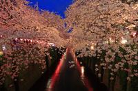 東京都 花 桜 目黒川 夜景