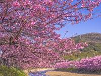 静岡県 河津桜