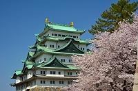 愛知県 桜と名古屋城