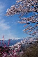 福島県 花見山公園 桜と花桃の花 吾妻・安達太良連峰