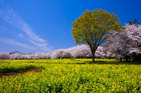 東京都 昭和記念公園 菜の花と桜