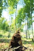 タケノコと竹林