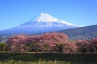 静岡県 富士山と沼川の河津桜並木