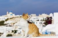 ギリシャ サントリーニ島 イア 猫