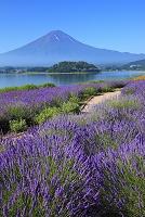 山梨県 大石公園 富士山と河口湖畔のラベンダー畑