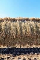 農村風景・刈り取った稲穂の天日干し