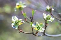 咲きかけたハナミズキの花