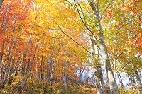 長野県 黒沢高原 紅葉のブナ林