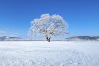 日本 北海道 霧氷のハルニレの木