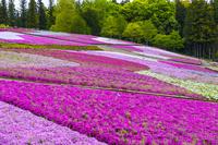 埼玉県 芝桜咲く羊山公園