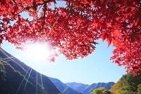 長野県 楓の紅葉と太陽