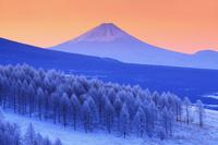 長野県 諏訪市 朝の霧ヶ峰から望む富士山と霧氷のカラマツ林