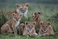 ケニア ライオンの子供たち