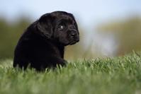ラブラドールレトリバー 子犬