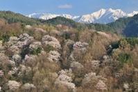 長野県 池田町 陸郷のヤマザクラ(桜仙峡)と北アルプス爺ヶ岳