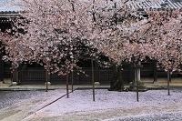 京都府 本法寺 桜散る境内と本堂