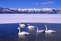 北海道 屈斜路湖と白鳥