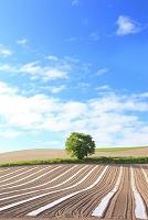 北海道 美瑛 丘陵の畑に立つ一本の木