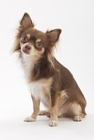 チワワ お座りをして首を傾げている犬