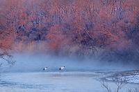 北海道 朝焼けの川岸に集うタンチョウ