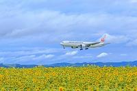 北海道 ヒマワリと旅客機