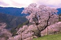 高知県 仁淀川町 ひょうたん桜