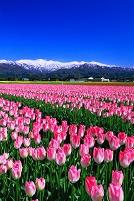 富山県 チューリップ畑