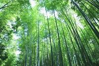 京都 嵯峨野 竹林の道