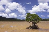 沖縄県 西表島 マングローブ