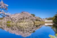 滋賀県 桜咲く彦根城と堀