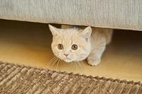 ソファの下にいるマンチカンの子猫