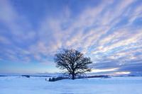 朝焼けと大きな柏の木