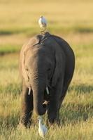 ケニヤ アンボセリ国立保護区 小象とアマサギ