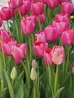 ピンク色のチューリップ