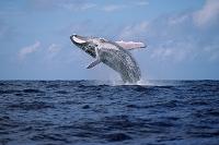 ブリーチングをするザトウクジラ