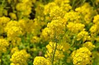 静岡県 伊豆の国市 菜の花