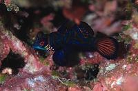 サンゴ礁のイメージ ニシキテグリ