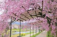 京都府 半木の道 紅枝垂れ桜の並木道