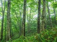 石川県 ブナの原生林