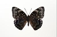 蝶 標本 スミナガシ♂